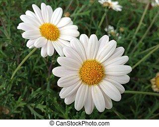 白色的花儿