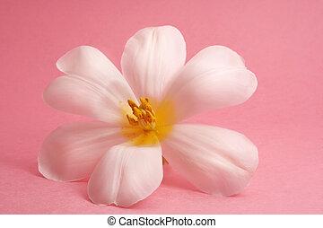白色的郁金香