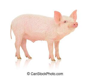 白色, 猪