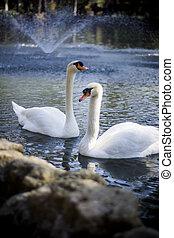 白色, 美麗, 天鵝, 湖