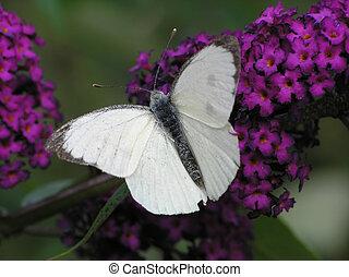 白色, 蝴蝶