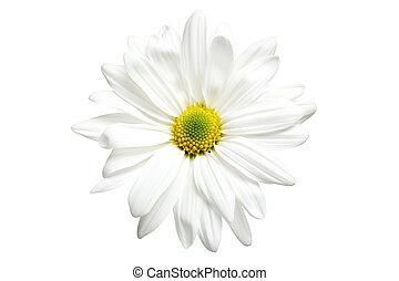 白色, 被隔离, 雛菊