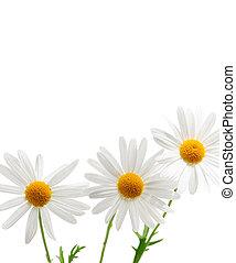 白色, 雏菊, 背景