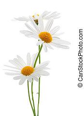 白色, 雛菊, 背景