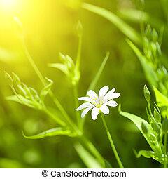 白色, chamomile, 在中, 绿色的草
