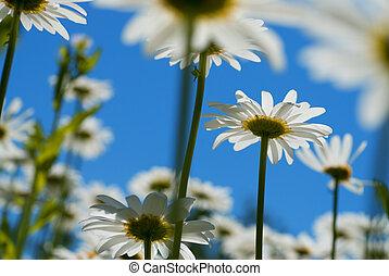白色, chamomiles, 針對, 藍色的天空