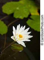 白色, waterlily.
