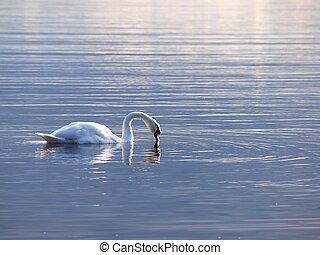 白鳥, のまわり, gracefully, 日没, 単独で, 水泳