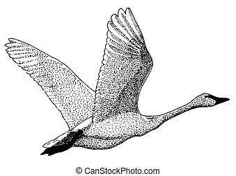 白鳥, トランペット奏者