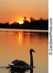 白鳥, 日没, 湖