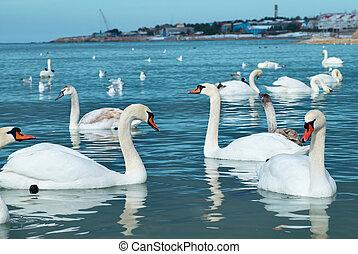 白鳥, 湖