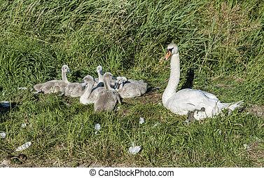 白鳥, 白鳥, 若い, 母