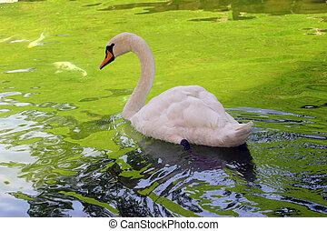 白鳥, 白, 2