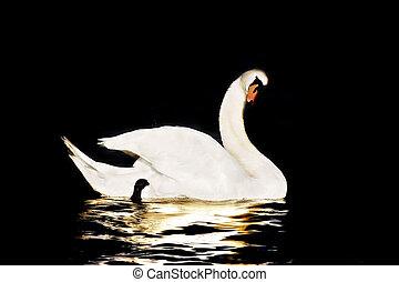 白鳥, 黒