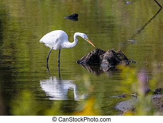 白鷺, 湖捕魚
