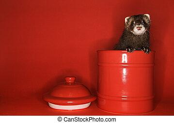 白鼬, 在外, 偷看, 罐子。