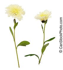 白, アスター, 花