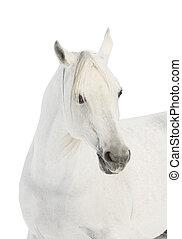 白, アラビアの馬