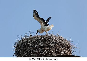 白, コウノトリ, 赤ん坊の 鳥, 中に, a, 巣