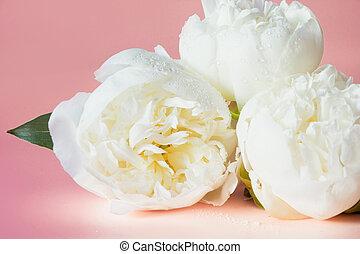 白, シャクヤク, 花, 上に, pink., 終わり, 。
