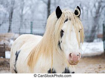 白, ジプシー, 馬