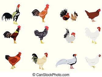 白, セット, 鶏, 背景