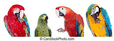 白, セット, macaws, 背景