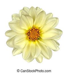 白, ダリア, 花, 黄色, 中心, 隔離された