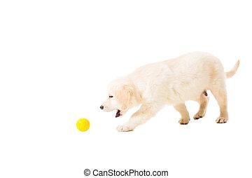 白, 子犬, 金 背景, レトリーバー