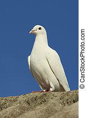 白, 平和, 鳩