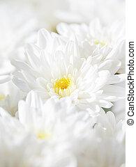 白, 春, 背景, flowers., chrysanthemum., 花束