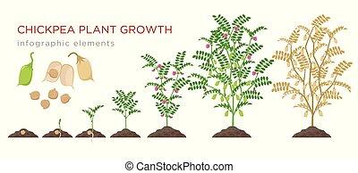 白, 植物, プロセス, 土壌, 成長した, ベクトル, 成長する, ヒヨコマメ, 隔離された, 周期, 段階, 背景, 芽, 成長, infographic, 平ら, ヒヨコマメ, illustration., elements., 種