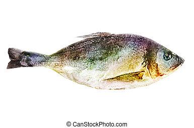 白, 水彩画, fish