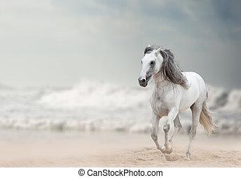 白, 種馬, andalusian