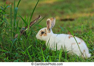 白, 茶色のウサギ, 中に, ∥, 牧草地