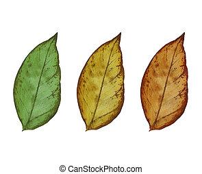 白, 葉, 隔離された, 背景