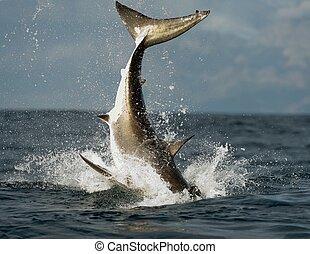 白, 跳躍, サメ