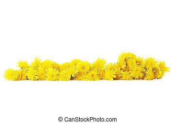 白, 隔離された, 黄色, タンポポ