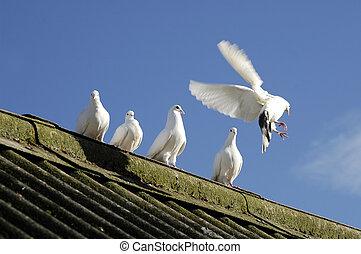 白, 5, 鳩