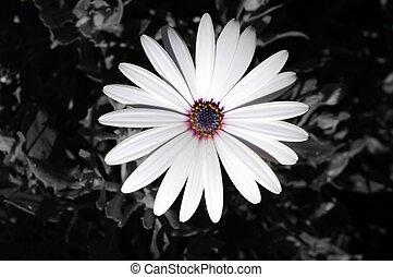白, osteospermum, flower.