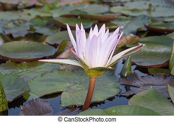 白, waterlily, 中に, 自然, 池