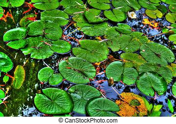 百合花衬垫, 在中, a, 平静, 反映, 池塘, 在中, hdr