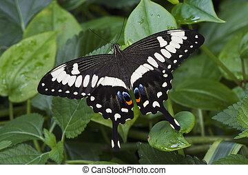 皇帝, swallowtail