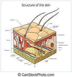 皮膚, 結构, 矢量, 插圖
