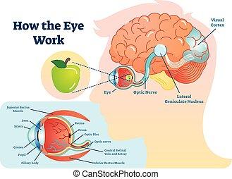 目, イラスト, 医学, 仕事, -, 図, いかに, 脳