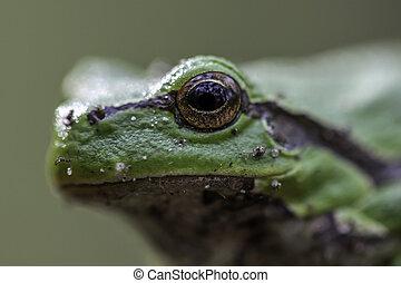 目, カエル