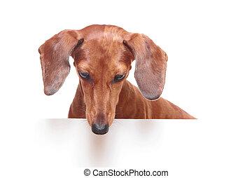 看起來情緒低落的, 達克斯獵狗狗