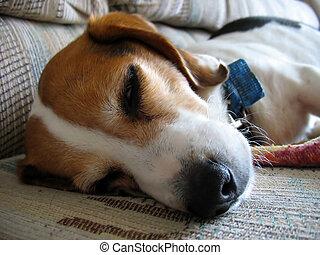 眠い, ビーグル犬