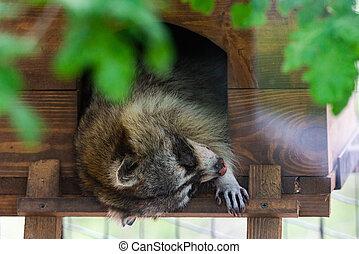 睡眠, 家, アライグマ, 小さい, 木製である, 休む