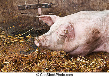 睡覺, 豬
